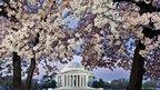 Cherry Blossom of the Japanese Yoshino variety bloom along the Tidal Basin, framing the Jefferson Memorial in Washington, DC