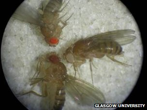 Rosy tubules compared to normal wild type fruit flies