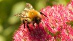 Carder bumblebee (c) Livingroof.org