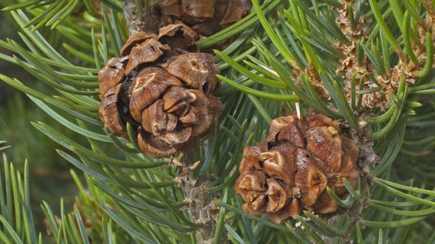 Pinus edulis foliage and cones (c) snowpeak via wikimedia commons