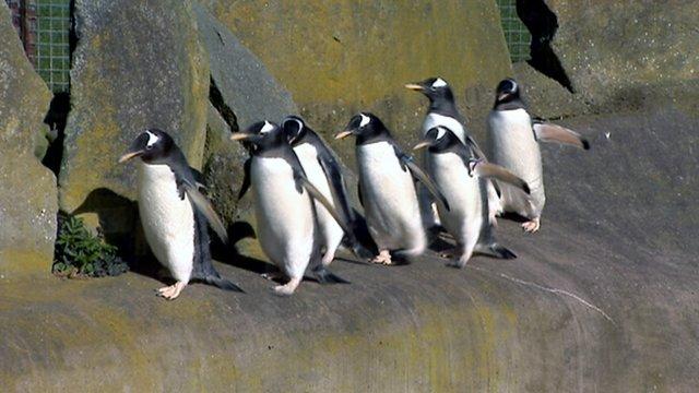 Penguins in Edinburgh Zoo
