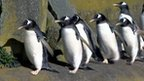 Penguins in Edinburgh Zoo