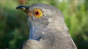 Male cuckoo (Image: BTO)