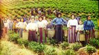 Greek tea harvesters