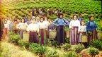 Greek tea harvesters