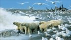 Polar bears scavenging. Copyright: Howie Garber / Wild Planet features images from Wildlife Photographer of the Year, owned by the Natural History Museum, London, and BBC Worldwide