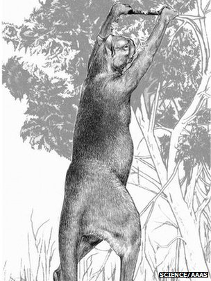 Sthenurus, an extinct browsing kangaroo