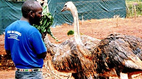 Geoffrey Kago feeding ostriches