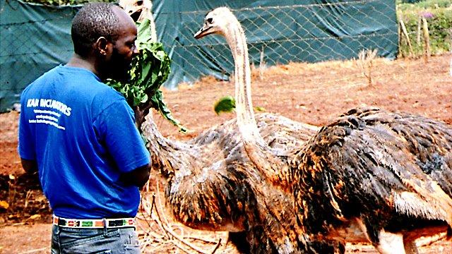 Geoffrey Kago feeding ostriches   Photo: Peter Njoroge