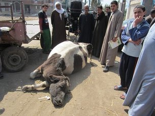 Dead cow left outside Egyptian government veterinary office in Abshwe