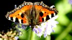 Butterfly in a garden in Braco, Perth and Kinross