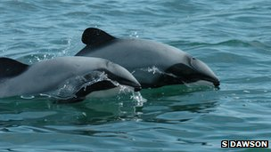 Hector's dolphins (c) Steve Dawson