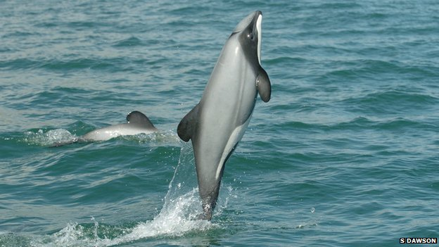Hector's dolphin (c) S Dawson
