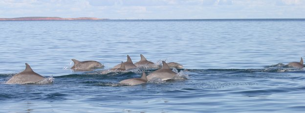Shark Bay dolphins