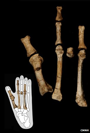 Foot bones (CMNH)