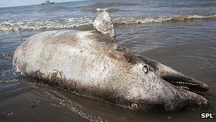 Dead dolphin on Gulf of Mexico coast