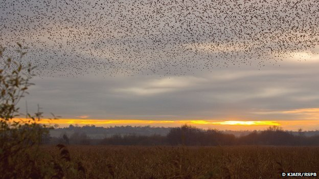 Starling murmuration in a winter sky (c) David Kjaer/RSPB