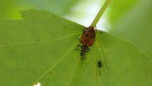 A ladybird eating a greenfly