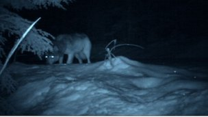 A wolf through night vision