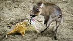 A newborn warthog plays with a meerkat