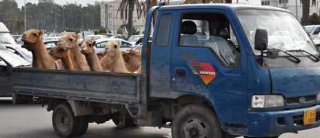 Camels arrive at market