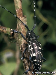 Asian Longhorn Beetle. (Picture: The Forestry Commission)