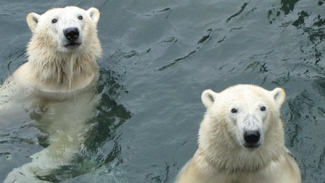 Polar bears Arktos, left, and brother Nanuq
