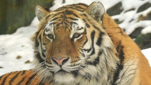 Amur tiger Marty