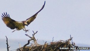 Osprey lands on nest