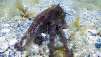 Enteroctopus dofleini (c) D Scheel