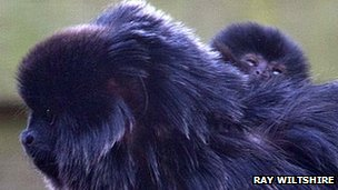 Goeldi's monkey (Ray Wiltshire)