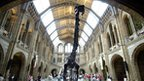 Diplodocus dinosaur skeleton at The Natural History Museum, London