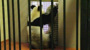 Tian Tian and Yang Guang meet