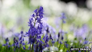 Bluebell plant