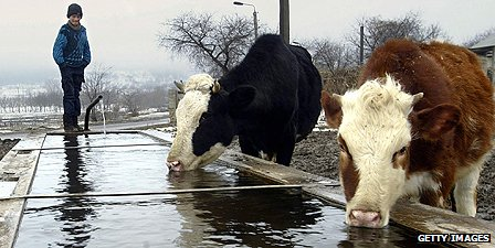 Cows in Moldova