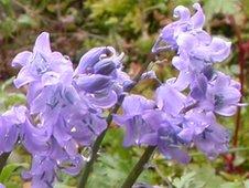 Spanish bluebell in flower