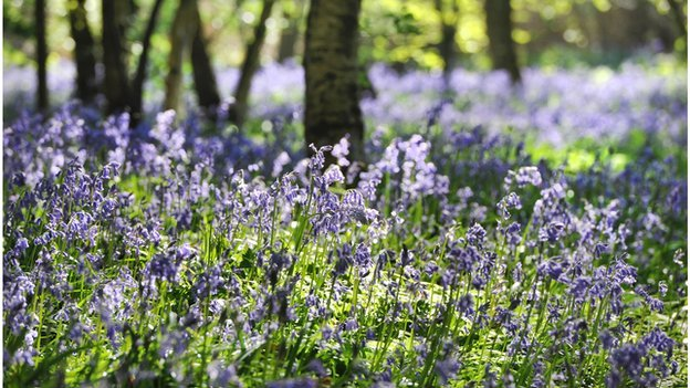 Bluebell wood in Arlington, East Sussex