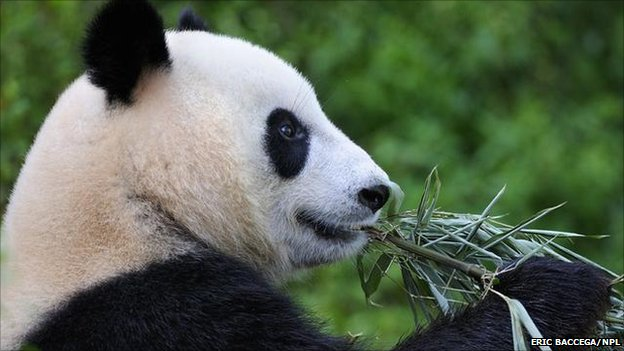 Giant panda (Image: Eric Baccega/NPL)