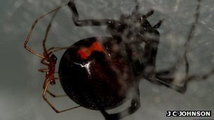 Male black widow spider on the abdomen of a much larger female (Image: James Chadwick Johnson/ Arizona State University)
