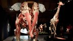 Plastinated zoological specimens including an elephant and giraffe (c) Gunther von Hagens Institute for Plastination, Heidelberg, Germany