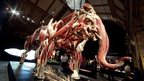 The plastinated anatomy of an elephant (c) Gunther von Hagens Institute for Plastination, Heidelberg, Germany