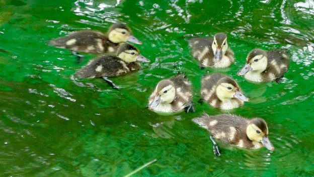 Madagascan pochard ducklings (c) WWT
