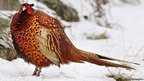 A pheasant walks through the snow in Glen Gairn, Ballater, Scotland