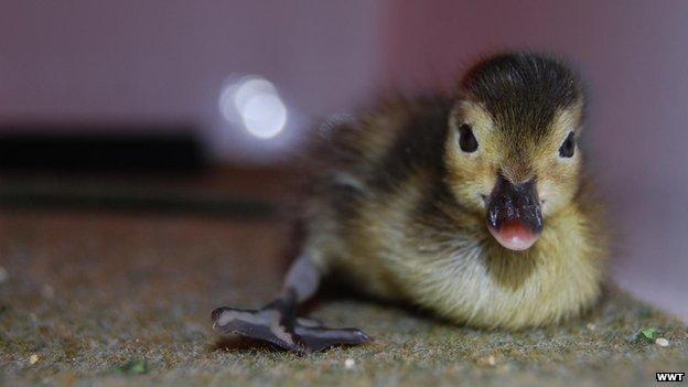 Madagascan pochard duckling (c) Idris Bhatti/WWT
