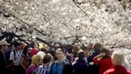 Tourists under a canopy of cherry blossom. Image courtesy of Jim Watson / AFP