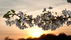 Cherry blossom with a sunset background. Image courtesy of Nicholas Kamm / AFP