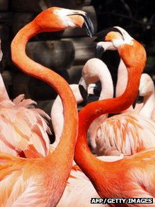 A pair of Caribbean flamingos extend their necks during courtship