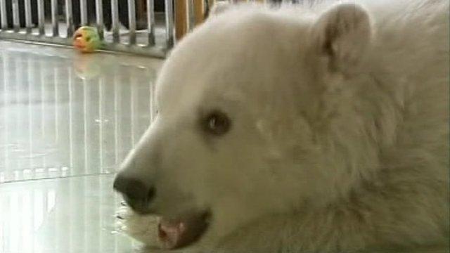 Meet Yuanyuan the little polar bear causing a big fuss in China!