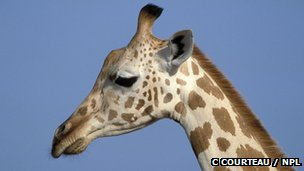 Giraffa camelopardalis (c) C courteau / NPL