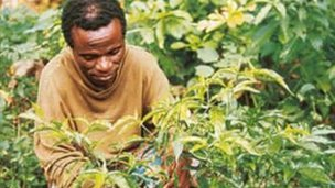 A man picking the iboga plant